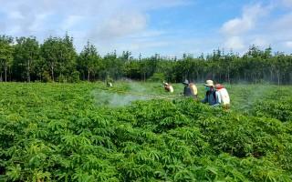 Châu Thành: Khẩn trương dập dịch bệnh khảm lá cây mì