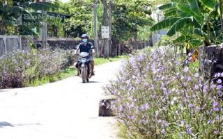 Tím sắc hoa đường làng Nam Thịnh