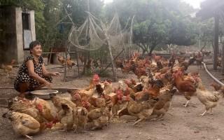 Tập huấn ứng dụng đệm lót sinh học trong chăn nuôi gà
