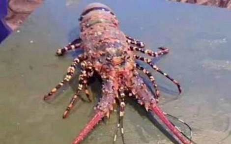 TQ: Bắt được tôm hùm khổng lồ dài 1,5m, cực kỳ quý hiếm