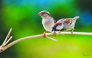 Bầy chim sẻ trước hiên nhà