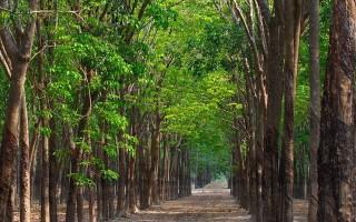 Khu rừng phòng hộ Dầu Tiếng có quy hoạch trồng cao su, cây ăn trái