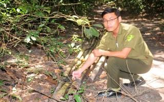 Trộm cắp cây rừng ở huyện Dương Minh Châu