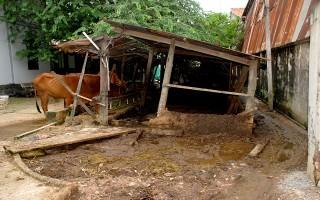 Một hộ nuôi bò trong khu dân cư gây ô nhiễm