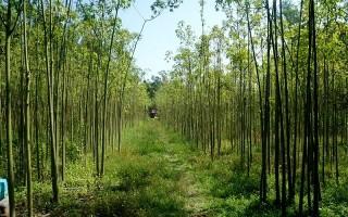 Trồng cây gòn cải thiện kinh tế