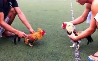 Bắt quả tang 2 vụ đá gà ăn tiền