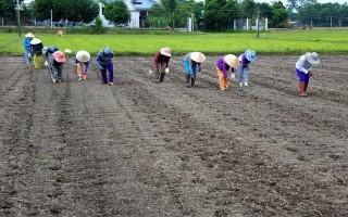 Nông dân xuống giống lúa trễ do nước rút chậm