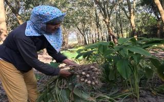 Lợi nhuận cao nhờ trồng củ lùn xen cao su