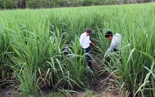 Nông dân bỏ mía, nguy cơ thiếu nguyên liệu cho vụ tới