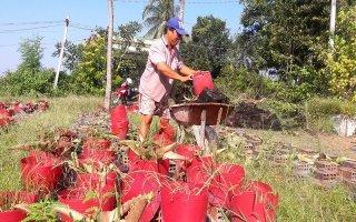 Người trồng hoa ở ấp Vịnh thiệt hại nặng do thời tiết thất thường