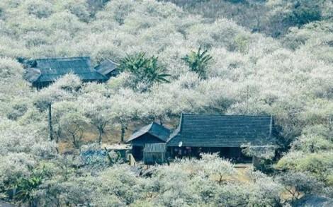 Quên lối về tại thiên đường hoa trắng Mộc Châu