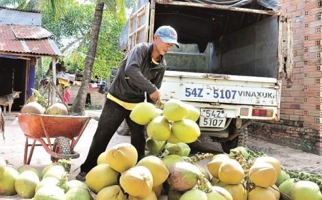 Vất vả nghề thu mua dừa