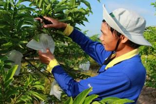 Làm gì để nâng cao giá trị trái mãng cầu Tây Ninh ?