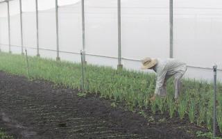 Nông dân phát triển mô hình trồng rau sạch trong nhà màng