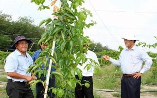 Phó Chủ tịch UBND tỉnh khảo sát dự án nông nghiệp trồng xoài của Tỉnh đoàn