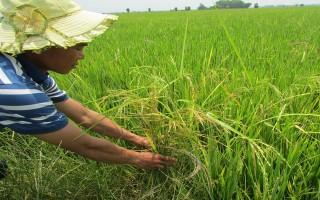 """Tích cực khắc phục hậu quả vụ """"lúa giống lẫn tạp"""""""