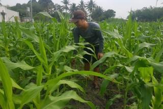 Hiệu quả từ mô hình trồng bắp nếp Thái