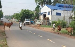 Bò thả rông - hiểm hoạ cho người tham gia giao thông