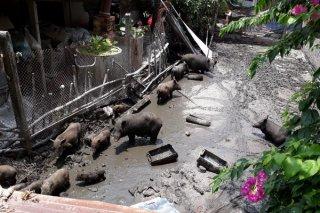 Cần xử lý dứt điểm một hộ chăn nuôi gây ô nhiễm