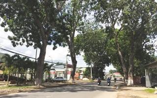 Ðề nghị thanh lý hai hàng cây xà cừ trên đường Trưng Nữ Vương