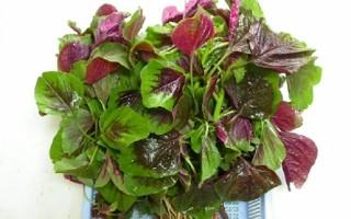 Dền: cây rau, cây thuốc quý