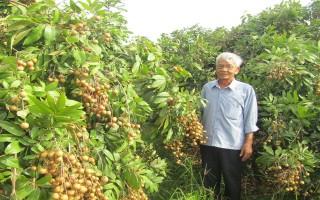 Xã Truông Mít: Nhiều hộ dân trồng nhãn trên đất lúa