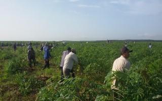 Gần 90 hộ dân đăng ký nhận tiền hỗ trợ thu hoạch mì