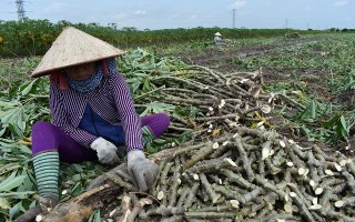 Nghiêm cấm mua bán, trồng giống mì HLS11