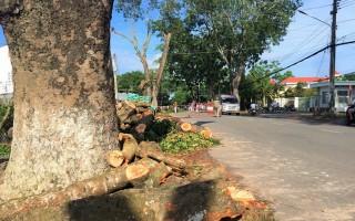 Thanh lý hai hàng cây xà cừ gần 40 năm tuổi trên đường Trưng Nữ Vương