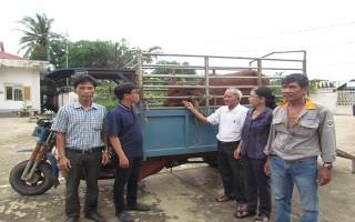 Trao bò cho hội viên nghèo