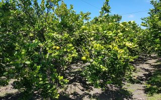 Thận trọng khi trồng cây cho trái có múi