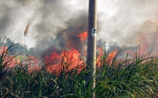 Chưa đến thời điểm thu hoạch, mía đã cháy