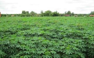 Tây Ninh sử dụng 160 ha đất để nhân giống mì sạch bệnh cung cấp cho nông dân