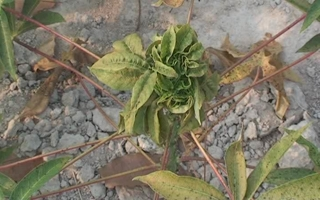 Tân Biên: Hơn 300 ha diện tích cây mì bị nhện đỏ phá hại
