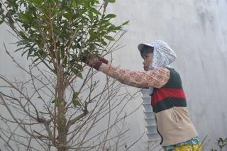 Nhà vườn ở Bến Kéo chi tiền triệu mướn công lặt lá mai