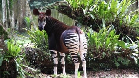 Giống thú truyền thuyết ở Congo bị săn trộm