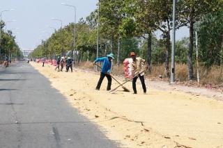 Phơi lúa trên đường tiềm ẩn nguy cơ gây tai nạn giao thông