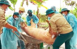 Dịch tả lợn châu Phi lan đã ra 9 tỉnh, thành phố