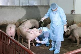 Tây Ninh: Hành động ứng phó khẩn cấp với bệnh dịch tả lợn Châu Phi