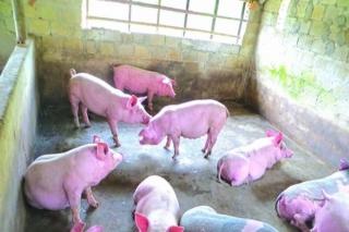 Tây Ninh: Thành lập 4 chốt kiểm dịch động vật liên ngành tạm thời phòng, chống bệnh Dịch tả heo Châu Phi