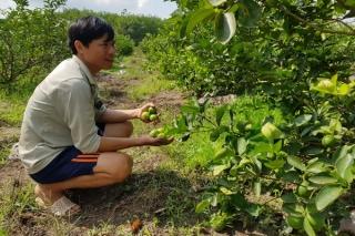 Liên kết trồng chanh không hạt cho hiệu quả
