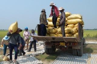 Mô hình liên kết sản xuất, tiêu thụ lúa đạt hiệu quả cao