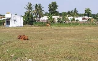 Sân bóng không sử dụng…trâu bò vào gặm cỏ