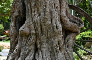"""Ngắm cây me """"khủng"""" ở Tây Ninh"""