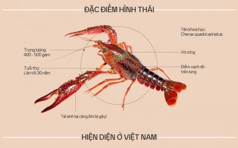 Vì sao tôm hùm đất bị cấm nuôi ở Việt Nam?