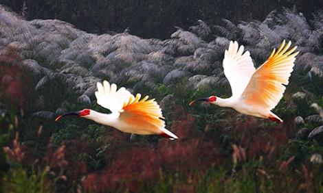 Hàn Quốc 'hồi sinh' loài chim tuyệt chủng 40 năm