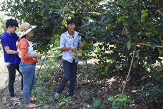 """Tây Ninh: Nhiều vườn trái cây """"lỡ"""" tết Đoan Ngọ"""