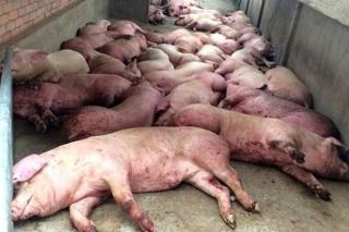 Quyết định mới về chính sách hỗ trợ dịch tả lợn châu Phi