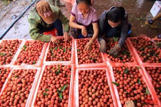 Nông sản Việt gặp khó ở Trung Quốc: Không đổi mới mình sẽ thất bại
