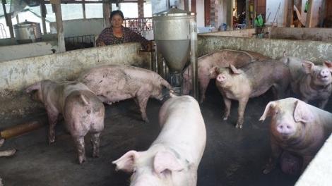 Hộ chăn nuôi nhỏ lẻ khó thực hiện đúng quy định về bảo vệ môi trường